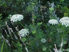 Ammi Majus et Persicaria Amplexicaulis Alba