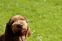The sneeze #spinone