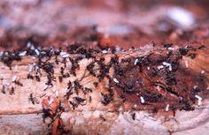 Plaga de termitas en acción.