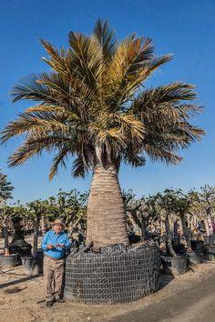 Jubaea Chilensis Palm Trees - Chilean Wine Palm from Palm Farm