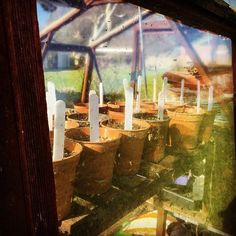 Green house Planting in February  Broad Beans and Peas
