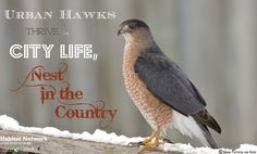 While many hawks migrate with their food sources, urban hawks may find enough resources to sustain themselves through winter, giving them an advantage on nesting sites come spring. As urban populations expand, city birds are moving to the suburbs to raise a clutch. Brush piles, snags and other habitat features you can offer will provide resources for their growing populations. Visit www.Habitat.Network to find out about supporting and attracting local wildlife you'd like to see more of.