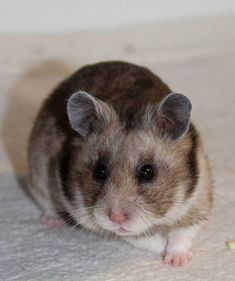 130 Best Hamsters images in 2018 | Cute hamsters, Rodents