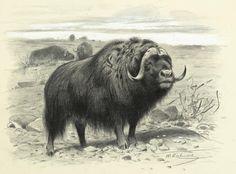 Musk Ox    Wilhelm Kuhnert