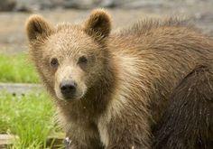 Brown #bear cub