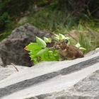 Scientists and volunteers are playing peak-a-boo with some Columbia River Gorge pikas, a rock-dwelling critter in the same order (Lagomorpha) as rabbits and hares: http://www.oregonlive.com/pacific-northwest-news/index.ssf/2014/07/pika_poll_columbia_gorges_pint.html.