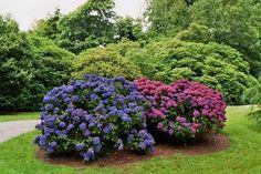 Grands hortensias, Trelissick Estate, Feock, Cornwall, Angleterre, Royaume-Uni.