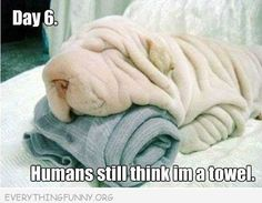 funny caption dog looks like towel day 6 humans still think i am a towel