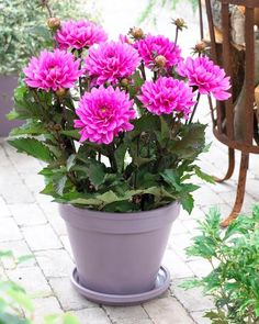 How to Grow Border Dahlias in Containers
