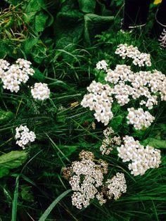 Achillea millefolium - siankärsämö