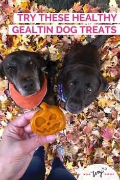 Have you ever made healthy Gelatin Dog Treats? I found out just how easy and fun it is to make gummy dog treats using an all-natural gelatin powder and pumpkin puree! Use a ghost or pumpkin mold to make these for your dog's halloween treats! You can make this easy DIY healthy dog treat recipe with just a few simple ingredients. With homemade treats, simple is better! Your dog will love these cool gummy gelatin treats. Get the recipe on Wear Wag Repeat.