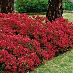 Azalea 'Hershey Red'