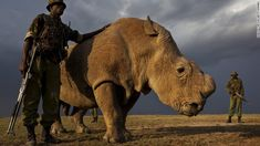 Sudan is the only male northern white rhino left worldwide