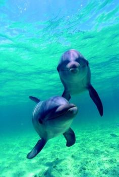 (: bottlenose dolphin, water animals, animals and pets, ocean life, sea Animals And Pets, Baby Animals, Cute Animals, Orcas, Beautiful Sea Creatures, Animals Beautiful, Photo Dauphin, Dolphin Art, Underwater Animals