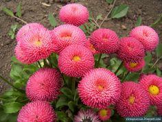 Virágmánia fotóblog: Százszorszép