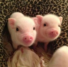Happy piglets