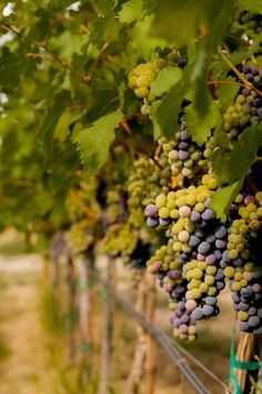 Cabernet Franc Grapes by Richard Duval : Harvest Market, Mexico Culture, Mouth Watering Food, Ansel Adams, Beach Landscape, Looking Stunning, Wine Country, Washington State, Find Art
