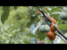 In a video profiling artist and Syracuse University professor Sam Van Aken, viewers are introduced to his extremely interesting hobby. Tree That Grows 40 Different Kinds of Fruit Exists In Nature Now - Great Ideas: http://greatideas.people.com/2015/07/23/tree-grows-40-different-fruits/ | http://www.youtube.com/watch?v=ik3l4U_17bI