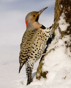 Northern Flicker - Whatbird.com  just saw this outside the office window perched in the cedar tree (1-15-13)