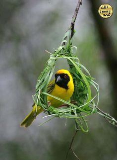 Kuş öncelikle çatallı bir dala, bir yapraktan kopardığı uzun bir lifin ucunu sararak işe başlar. Bir ayağı ile lifin ucunu dalın üzerinde tutarken, diğer ucunu gagasıyla idare eder.