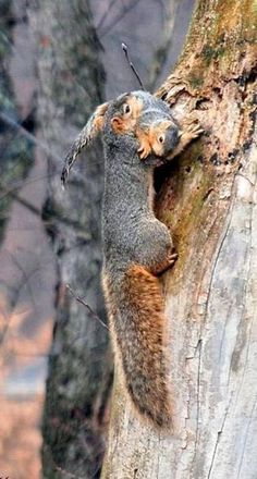Here you compare both Red squirrel vs Grey squirrel. read this article to know comparison, difference, and similarity between Grey squirrel vs red squirrel, who will win the fight. Nature Animals, Woodland Animals, Animals And Pets, Cute Squirrel, Baby Squirrel, Squirrels, Raccoons, Beautiful Creatures, Animals Beautiful