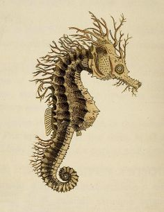"Common Hippocampus.  From a book called ""The Zoological Miscellany"" by WE Leach, 1814."
