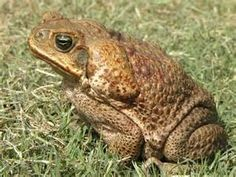 cane toad - Yahoo Search Results