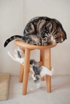 Un adorable Chaton Tigré gris et blanc sous un tabouret, qui joue avec la queue de Maman ...