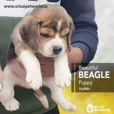 Beagle Puppy Price In Amritsar