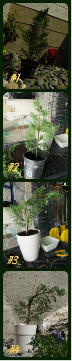 ATTEMPT #3 #1 FOUND THIS ELLWOOD CONIFER ALONG WITH THE RHIENGOLD ONE ON THE POORLY TABLE #2 TRIMMED OF THE EXCESS DEAD WOOD AND BRANCHES #3 TRIMMED THE ROOT BALL DOWN TWISTED THE STEM AROUND A CANE #4  WIRED THE STEM & PLANTED IN A SMALL POT