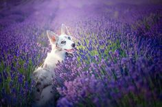 Photographer Captured Amazing Portraits of Her Dogs in Lavender Garden in Poland