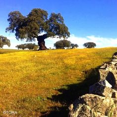 #CaminoMozarabe  To be a pilgrim and come upon this ancient cork tree on a…