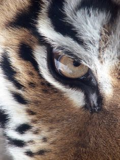 Tiger, Auge, Sibirische Tiger, Panthera Tigris Altaica