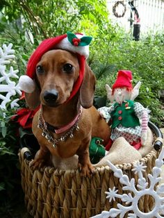 Doxie and his Elf