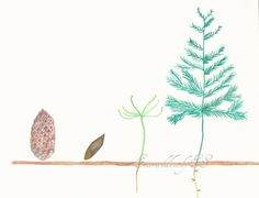 The growth of a fir tree, beginning with a pine cone, watercolor painting, gardening art, Fine art print, Instant Download, JPG file