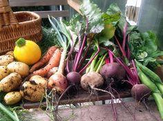 Det er blevet høsttid i den lille have, og hver dag er er nye grøntsager lige til at plukke af eller grave op. Simpelthen fra have til mave.