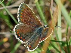 Lehtosinisiipi, Plebeius artaxerxes - Perhoset - LuontoPortti