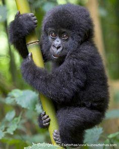 gorilla ! #animallovers #gorilla #gorillafans #animals