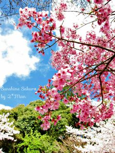Sunshine Cherry Blossom [Sakura] on Philosopher's Path in Kyoto (陽光桜- 哲学の道) 2014/04/04