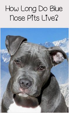 Just how long is the Blue Nose Pitbull lifespan? About as long as the red pit! Why? Because they're the same breed! Find out more about the lifespan of the American Pitbull!
