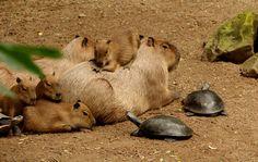 Why Do Animals Like Capybaras So Much? (18+ Pics) | Bored Panda
