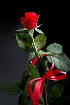 a single red rose with a red ribbon Beautiful Gif, Beautiful Roses, Life Is Beautiful, Beautiful Pictures, Romantic Pictures, Love Rose, Love Flowers, White Roses, Red Roses