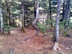 Bent Tree in Maine
