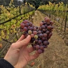 When you feel the love of your new harvest. :) Image by @wine.gini  #RODwine #rodwineco #grapes