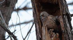 Great horned owlet exercising wings in nest / Boulder, Colorado #BoulderInn