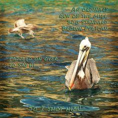 Boring pelican, Cabo San Lucas, Mexico