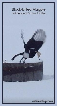 Black-billed Magpie, RM Montmartre, SK, Mar 2018. Source: Anita Mae Draper Birdwatching, Magpie, Potato, Wildlife, Creatures, Birds, Couch, Tattoos, Blog
