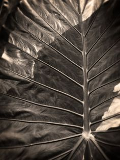 Sometimes, subtracting the color from botanical photographs makes them, I think, even more lovely. I love the dark, marbled sheen of this leaf.