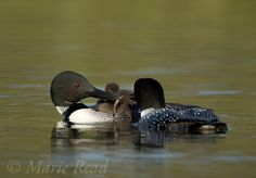 CLoonsFeedChick_9631   Common Loon family, (Gavia immer) one parent feeds a fish to the chick riding on its back, Michigan, USA