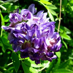 Types of Purple Flowers | ... to lightbox pictures of other types of climbers with dark blue flowers